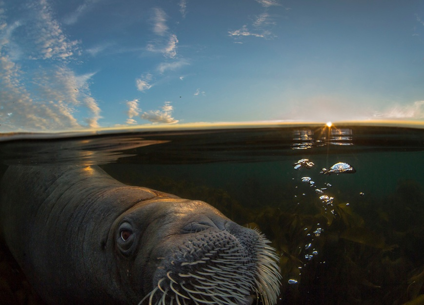walrus_playing_with_bubbles_wpy_2015hs
